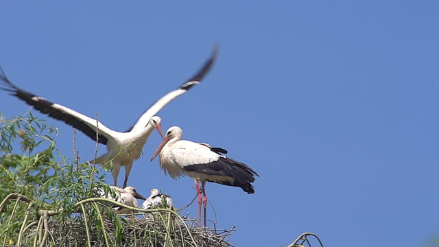 ws zo slo mo white stork, ciconia ciconia, pair and chicks standing on nest and one in flight / ribeauville, alsace, france - nido di animale video stock e b–roll