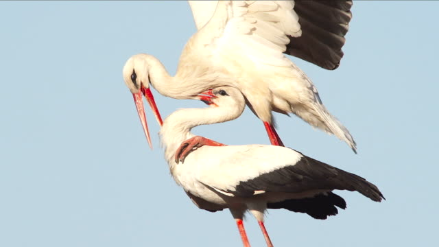 white stork - copulation - animal behaviour stock videos & royalty-free footage