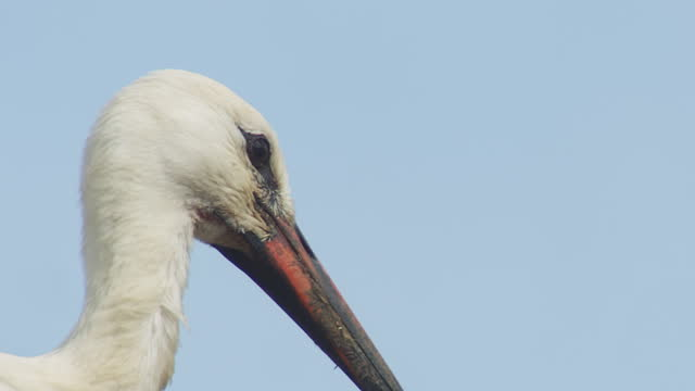 cu white stork looking round on nest - close up stock videos & royalty-free footage