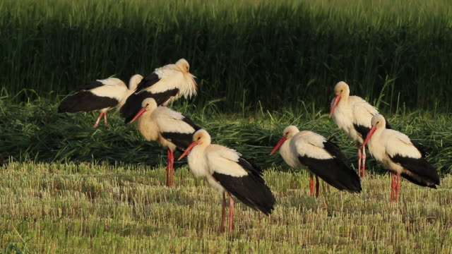 stockvideo's en b-roll-footage met white stork (ciconia ciconia)- migrating storks resting in a green wheat field - middelgrote groep dieren