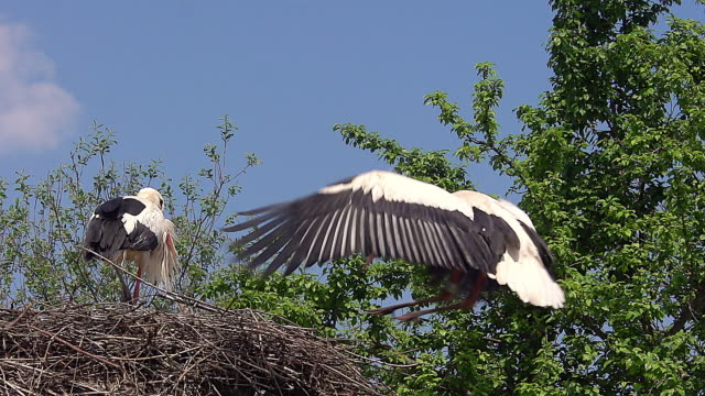 ms slo mo white stork (ciconia ciconia) pair standing on nest one in flight / ribeauville, alsace, france - animal nest stock videos and b-roll footage