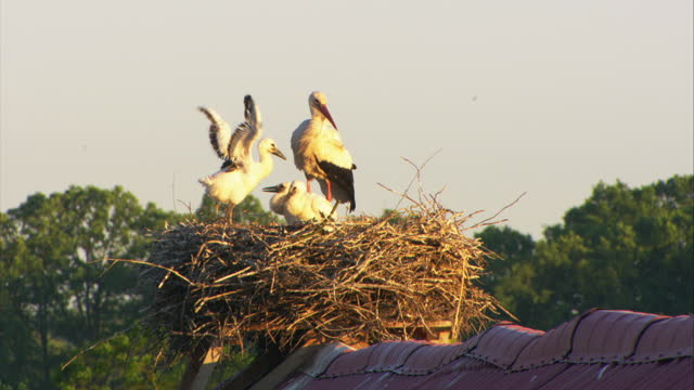 vidéos et rushes de ms white stork preening on rooftop nest with 3 chicks in evening light - nid d'oiseau