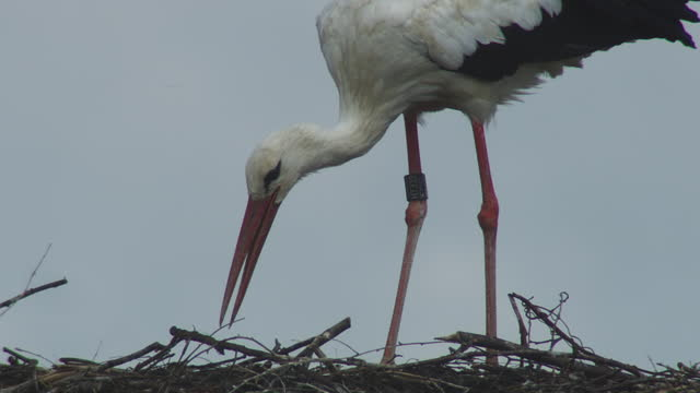 cu white stork sorting nest material - animal nest stock videos & royalty-free footage