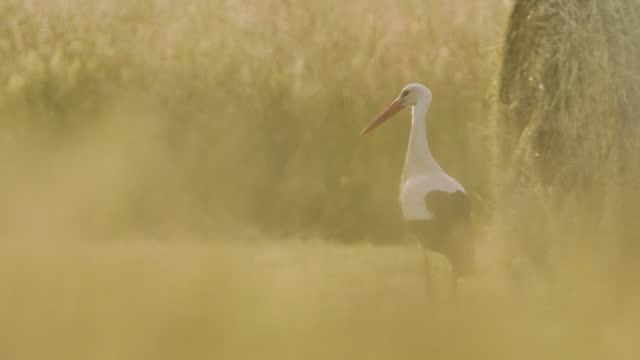 white stork walking through a field with hay bales - ネイチャーズウィンドウ点の映像素材/bロール