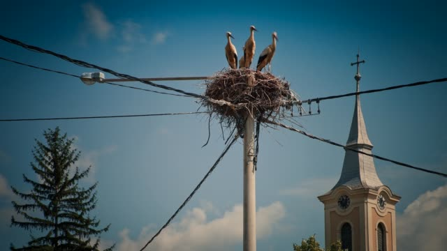 white storks and chicks nesting on a rooftop, baranja, croatia - bird's nest stock videos & royalty-free footage