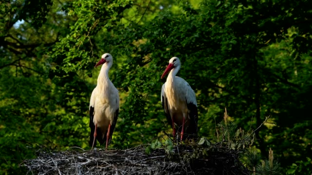 white storks, ciconia ciconia, couple rattling on nest - two animals stock videos & royalty-free footage