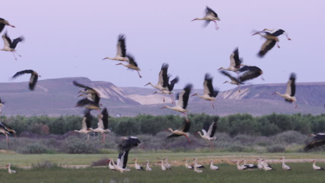 white storks during spring migration in the negev desert - flock of birds stock videos & royalty-free footage