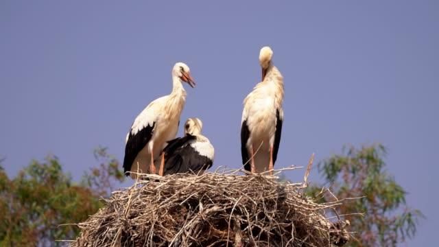 stockvideo's en b-roll-footage met white storks nesting - dierlijke mond