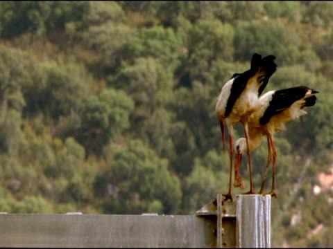 white storks (ciconia ciconia) on fence next to road, dehesa de abajo (puebla del rio, sevilla), andalucia, spain - böja sig bildbanksvideor och videomaterial från bakom kulisserna