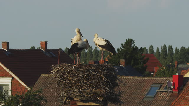 3 white storks standing on rooftop nest - three animals stock videos & royalty-free footage
