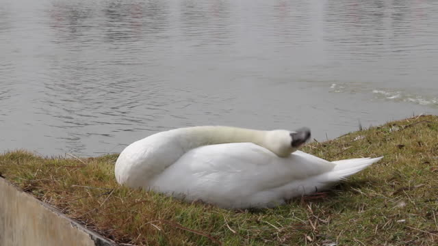 white swan cleaning its feather. - swan stock videos and b-roll footage
