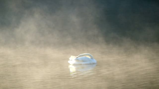 white swan cleaning on fog reservior - cigno video stock e b–roll