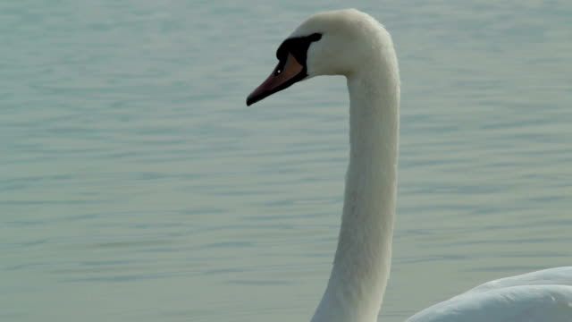 White swan close up
