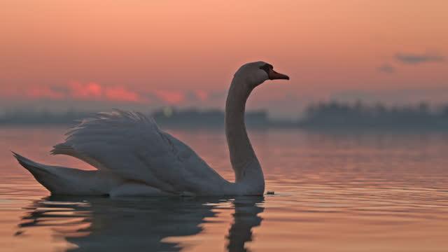 白天鵝喝湖水 - 一分鐘或更長 個影片檔及 b 捲影像