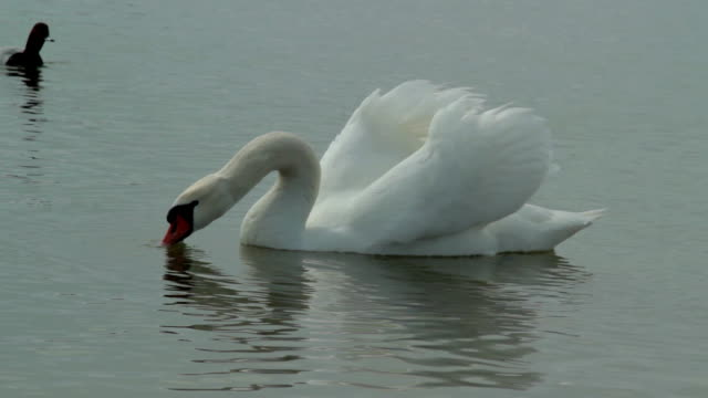 White swan eat and drink on the pond