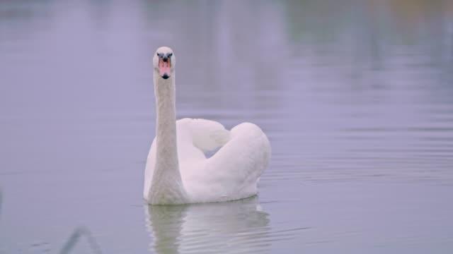 cu white swan floating lake - swan stock videos & royalty-free footage
