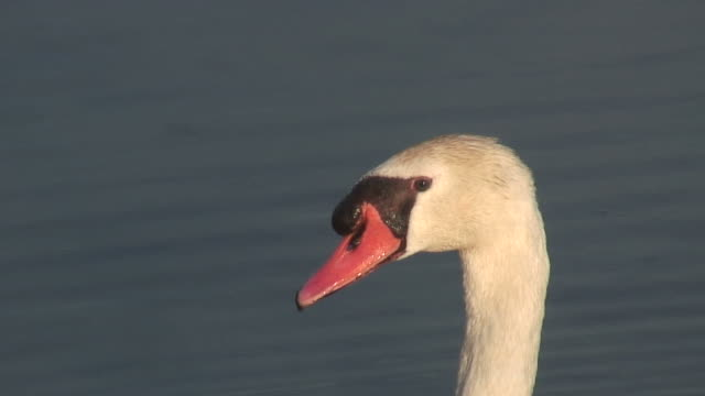White swan head - HD 1080/60i