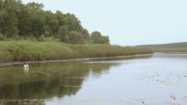 Weißer Schwan im Sumpf