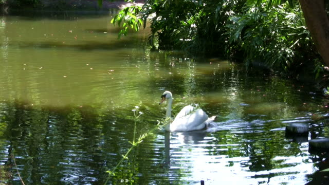 White Swan on the Lake during Summer