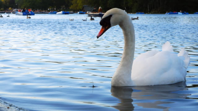 white swan on the serpentine lake in london hyde park (uhd) - the serpentine london stock videos & royalty-free footage