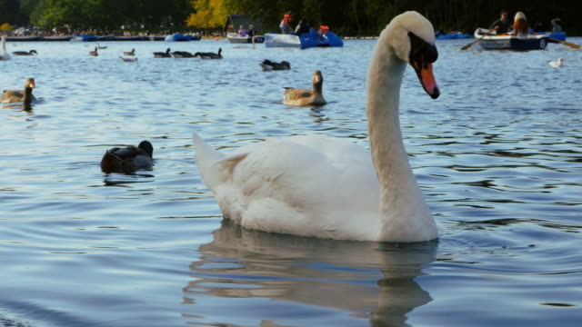 white swan on the serpentine lake in london hyde park (uhd) - paddle boat stock videos & royalty-free footage