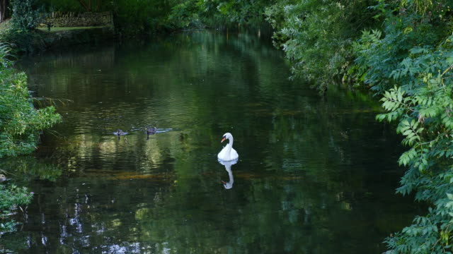 white swan on the water - swan stock videos and b-roll footage