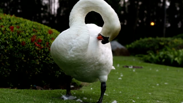 White swan Preening itself in the garden : HD VDO