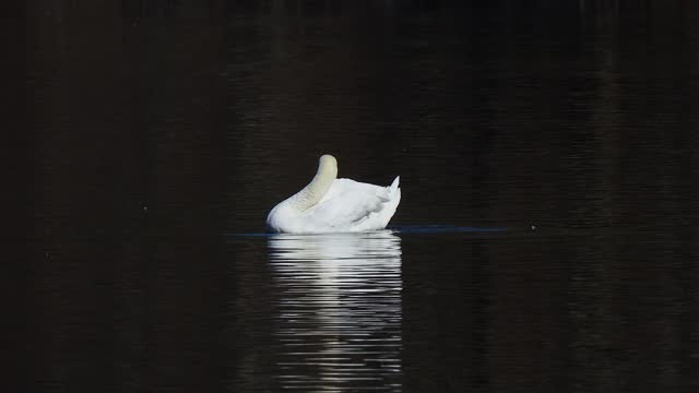 white swan preening on water on the park pond - audio available stock videos & royalty-free footage