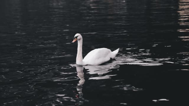 white swan swimming hallstatter see lake in austria - mute swan stock videos & royalty-free footage