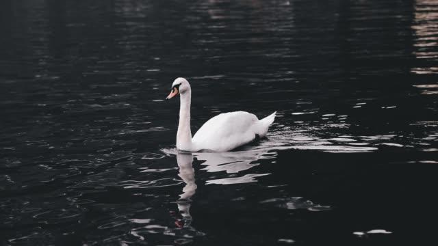 vídeos y material grabado en eventos de stock de natación del cisne blanco hallstatter vea el lago en austria - cisne blanco común