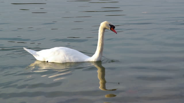 white swan swimming in the lake - mute swan stock videos & royalty-free footage