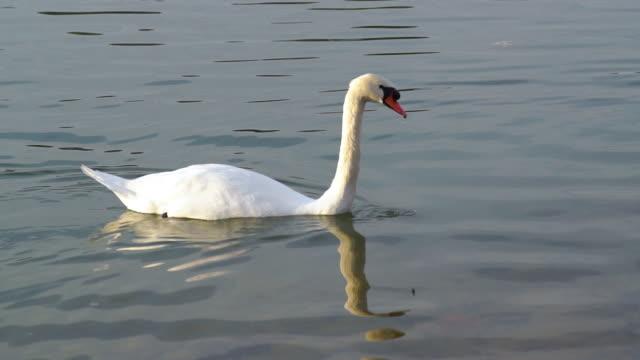 vídeos y material grabado en eventos de stock de cisne blanco nadando en el lago - cisne blanco común
