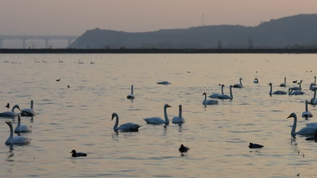 vidéos et rushes de natation de cygne blanc dans le coucher du soleil - procédé croisé
