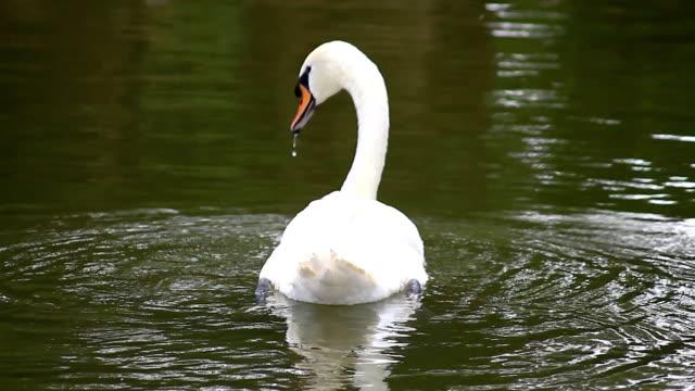 vidéos et rushes de cygne blanc, nager dans la rivière de l'eau - bouche des animaux