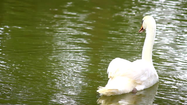 white swan swimming in water river