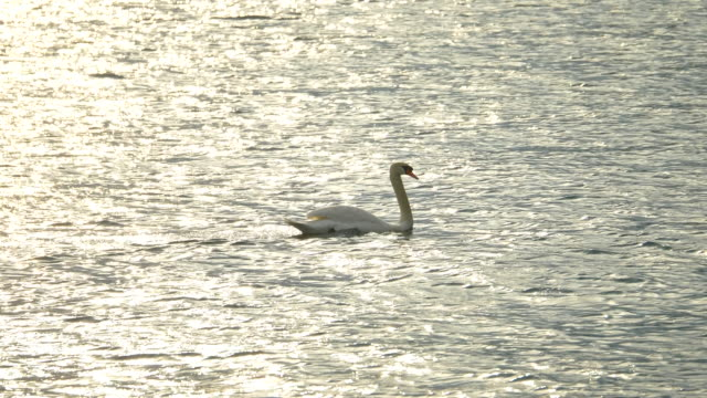 a white swan swims floating on lake como, italy, europe. - slow motion - grazia video stock e b–roll
