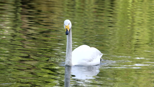 white swan swims on lake - swan stock videos & royalty-free footage