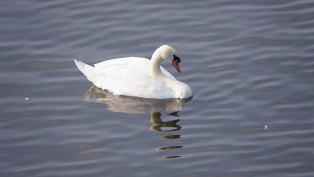 white swan - mute swan stock videos & royalty-free footage