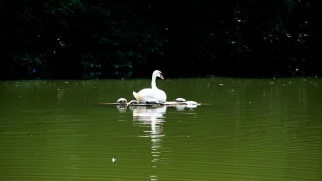 stockvideo's en b-roll-footage met white swan - knobbelzwaan