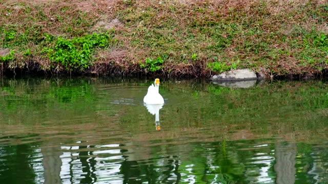 ホワイトスワン - 白鳥の子点の映像素材/bロール