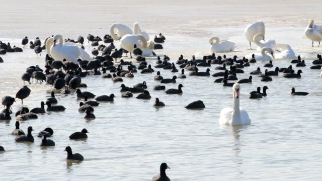 white swans and black ducks on lake surface in winter. - pälsteckning bildbanksvideor och videomaterial från bakom kulisserna