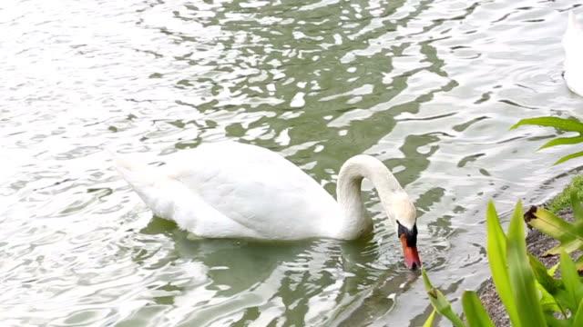 Weiße Schwäne privatem im Teich und Essen