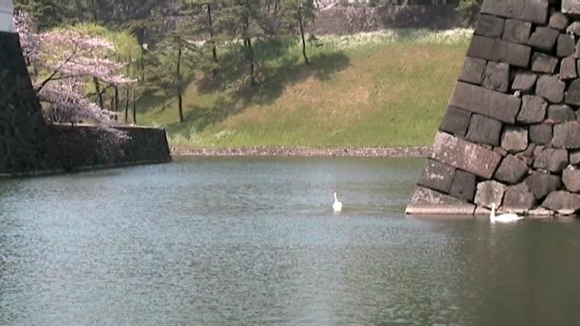ホワイトの白鳥スウィミングイアンペリアルモス,日本 - 天皇点の映像素材/bロール