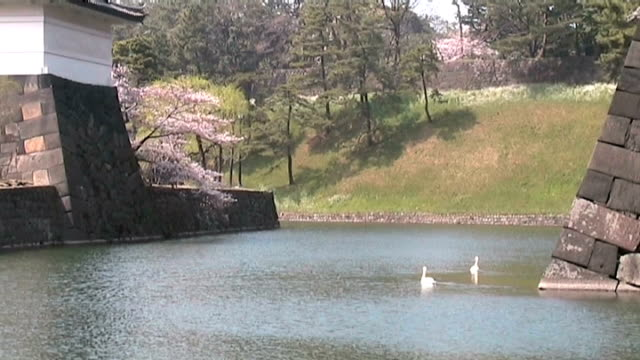 white swans swimming in imperial moth, japan - anamorphic stock videos & royalty-free footage
