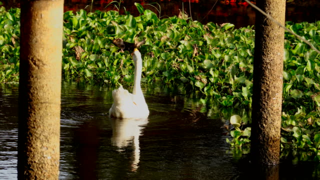 white swans swimming lake in thailand - mute swan stock videos & royalty-free footage