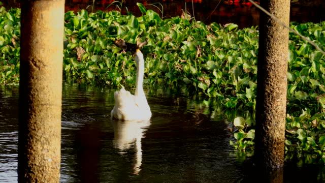 vídeos y material grabado en eventos de stock de cisnes blancos nadando lago en tailandia - cisne blanco común
