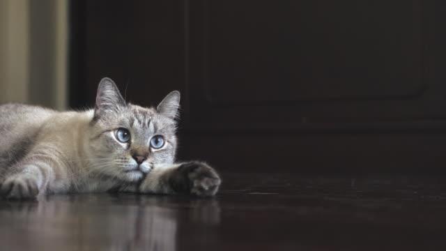 weiße gestromte siamesische katze auf hartholzboden blickend auf die kamera und weg - neugierde stock-videos und b-roll-filmmaterial
