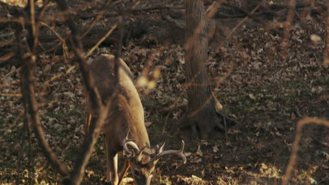 white tail deer, 6-point buck runs through the woods, golden morning light. - white tailed deer stock videos & royalty-free footage