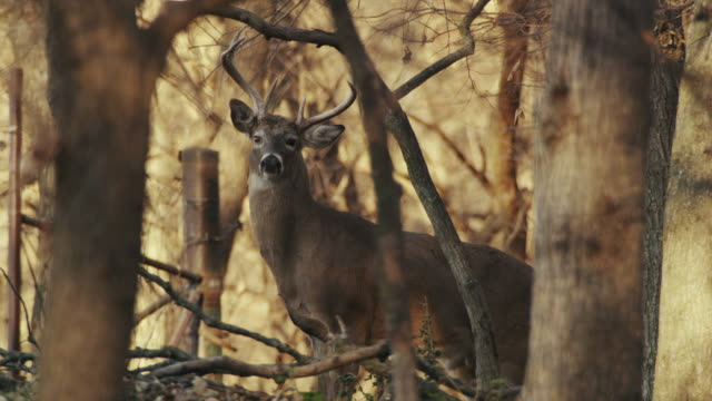 white tail deer, 6-point buck, stands cautiously in the woods, camouflaged by trees. - nebraska stock-videos und b-roll-filmmaterial
