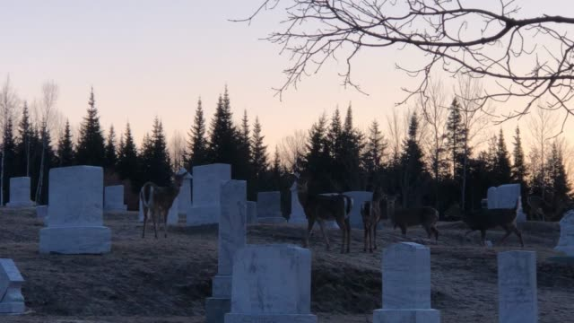 white tail deer gather in a cemetery along roadside in rangeley, maine usa during springtime - white tailed deer stock videos & royalty-free footage